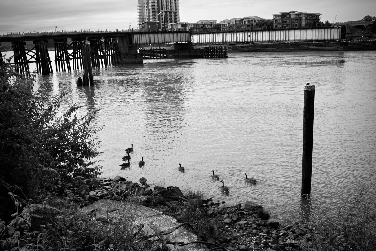 Geese family in the Fraser River at New Westminster, BC.