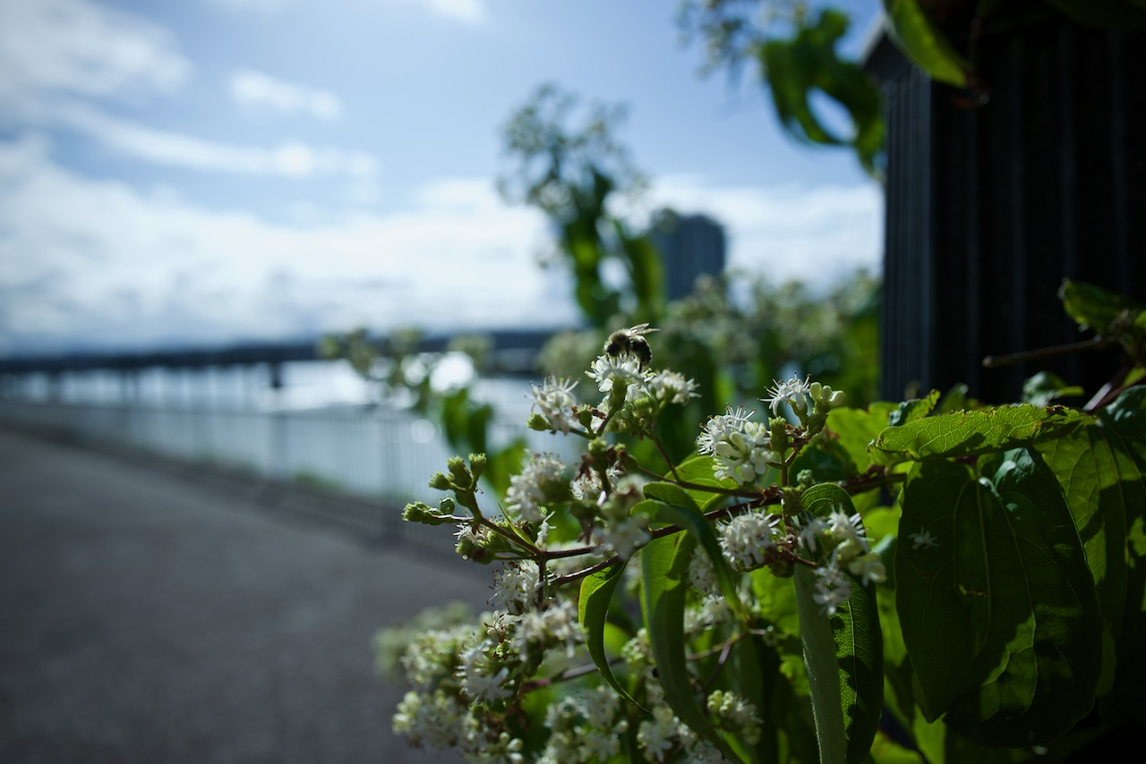 A busy bee gathers pollen alongside the Fraser River at New Westminster, BC.  Click image to enlarge.
