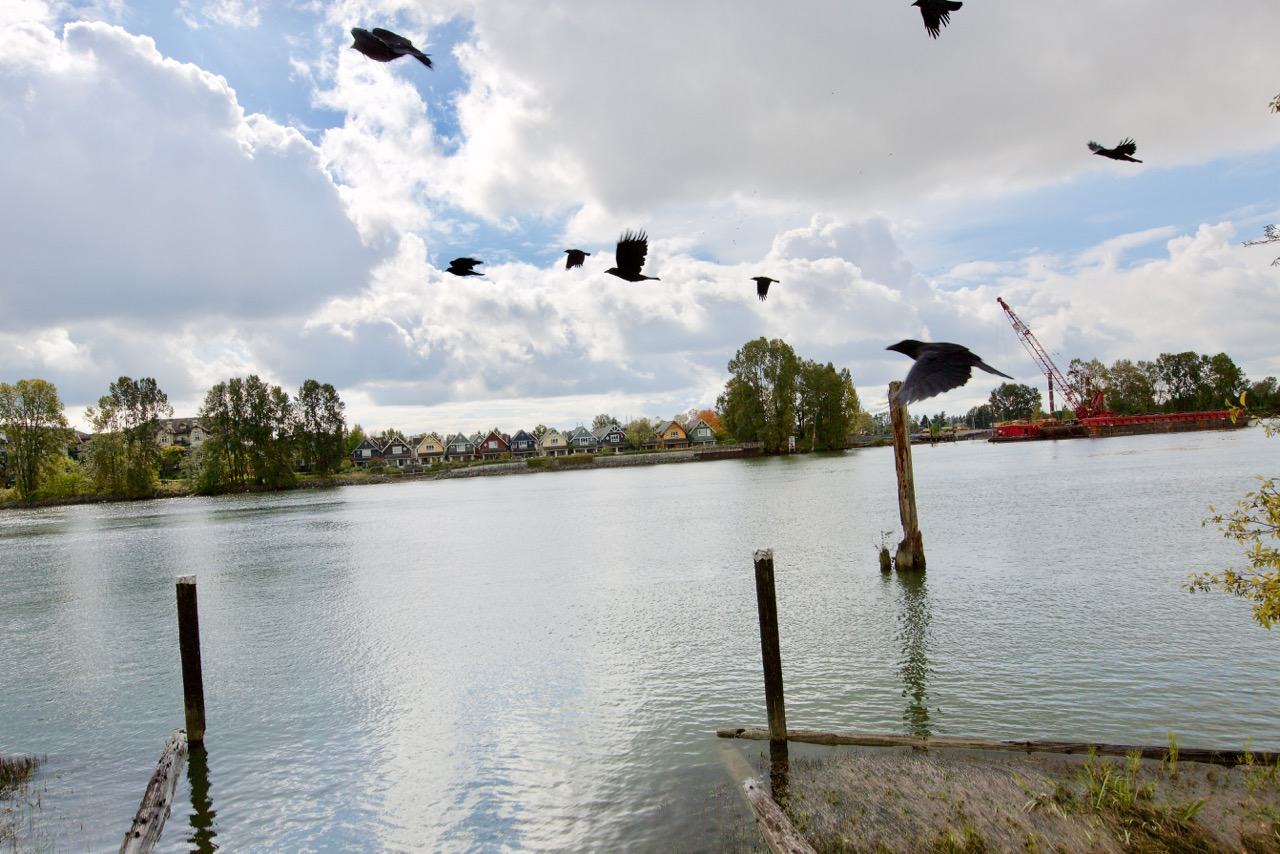 Crows in flight by the Fraser River in New Westminster, B.C.  Click image to enlarge.