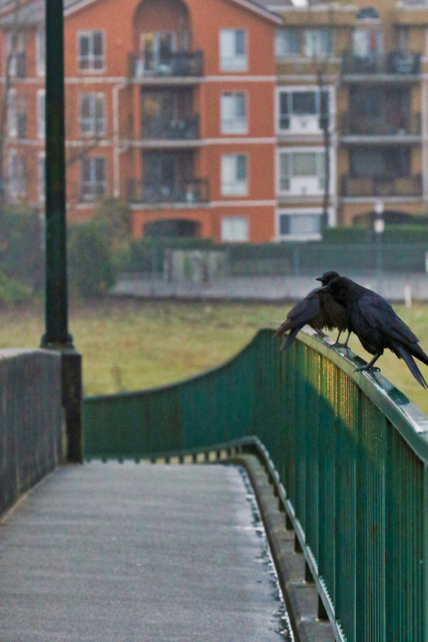 Crows along Quayside Dr. in New Westminster, B.C. - December 29, 2017