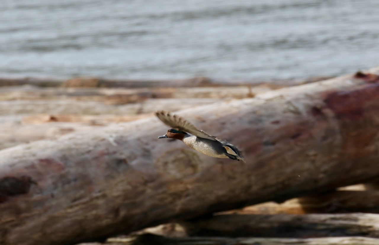 Green-winged Teal Duck flies over a log boom in the Fraser River.  Click image to enlarge.