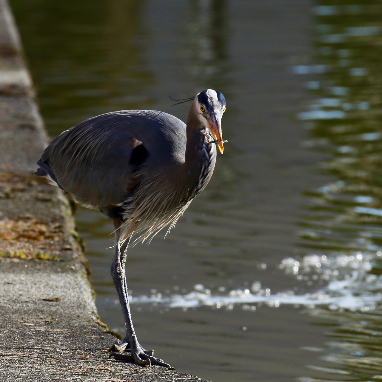 Great Blue Heron catches fish, New Westminster B.C.