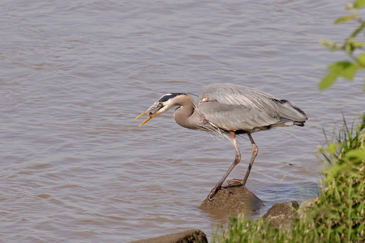 Great Blue Heron looks at fish before swallowing, Fraser River B.C.