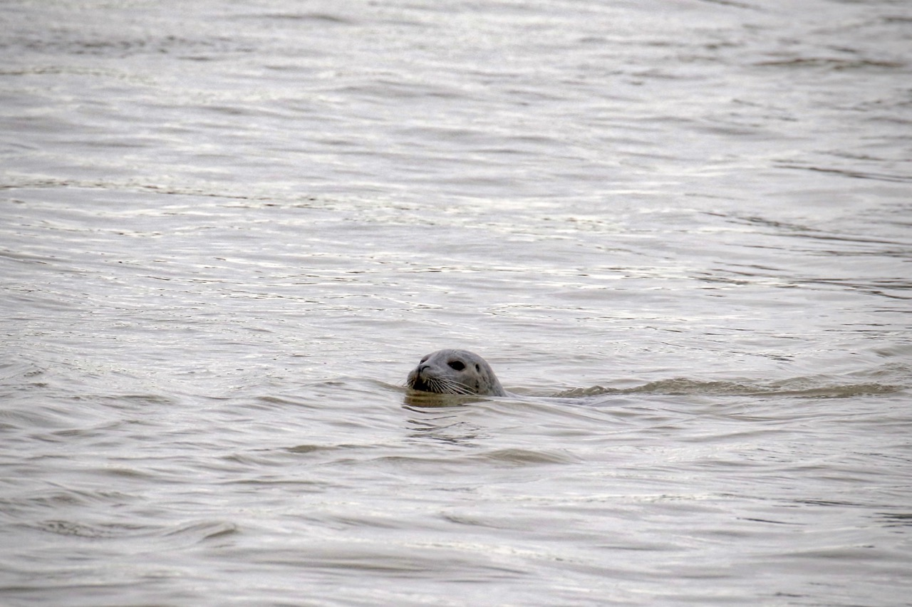 Harbour Seal swims in Fraser River