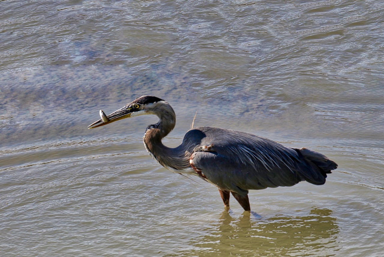 Great Blue Heron catches fish, Fraser River B.C.