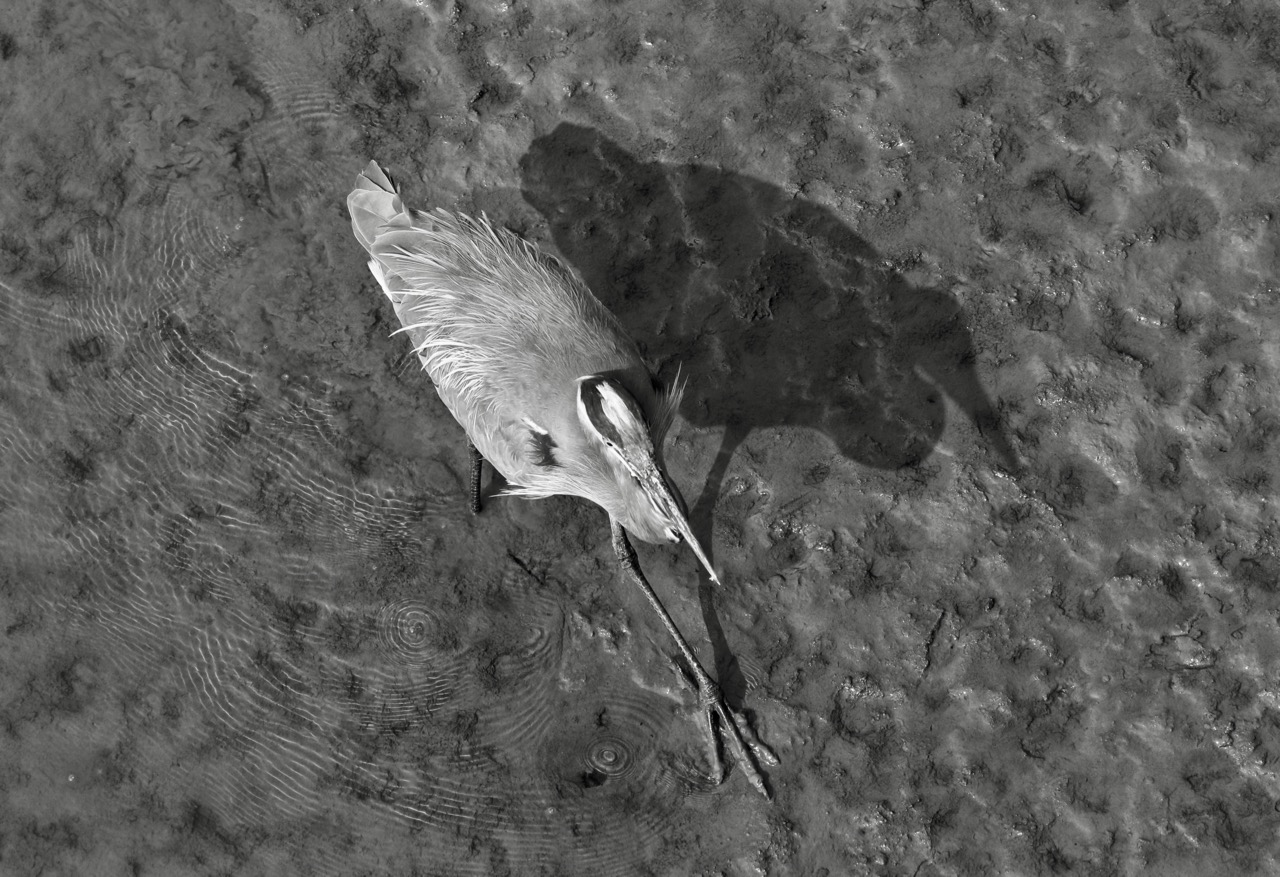 Heron and shadow, Fraser River B.C.