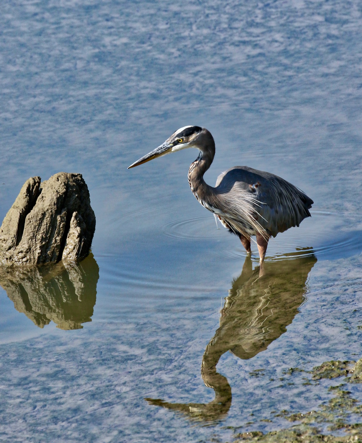 Great Blue Heron wades in Fraser River