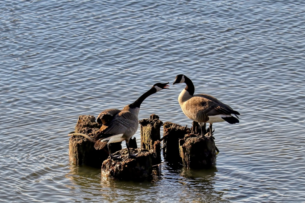Canada Geese in Fraser River