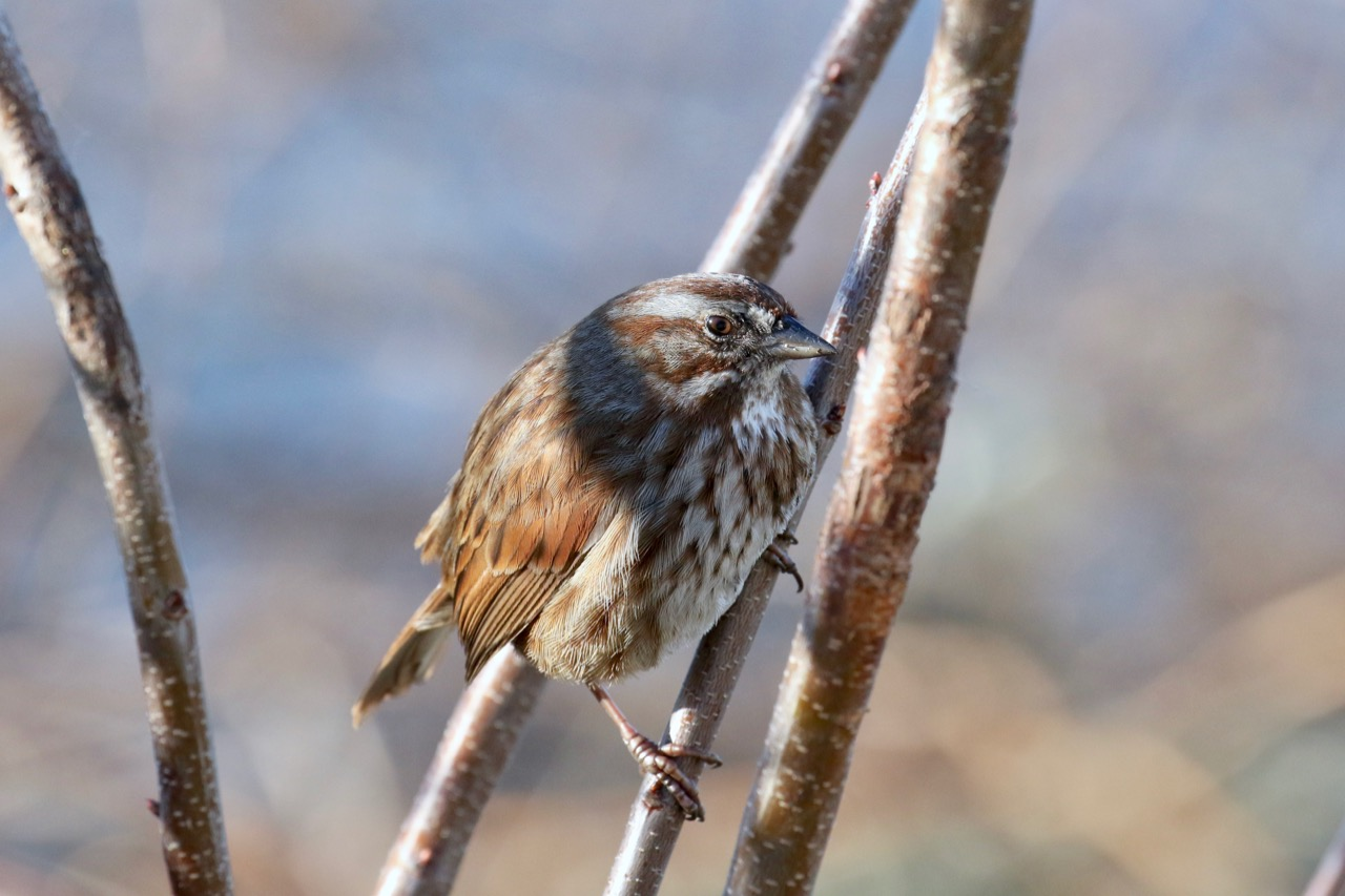 Song sparrow perches on branch, New Westminster B.C.
