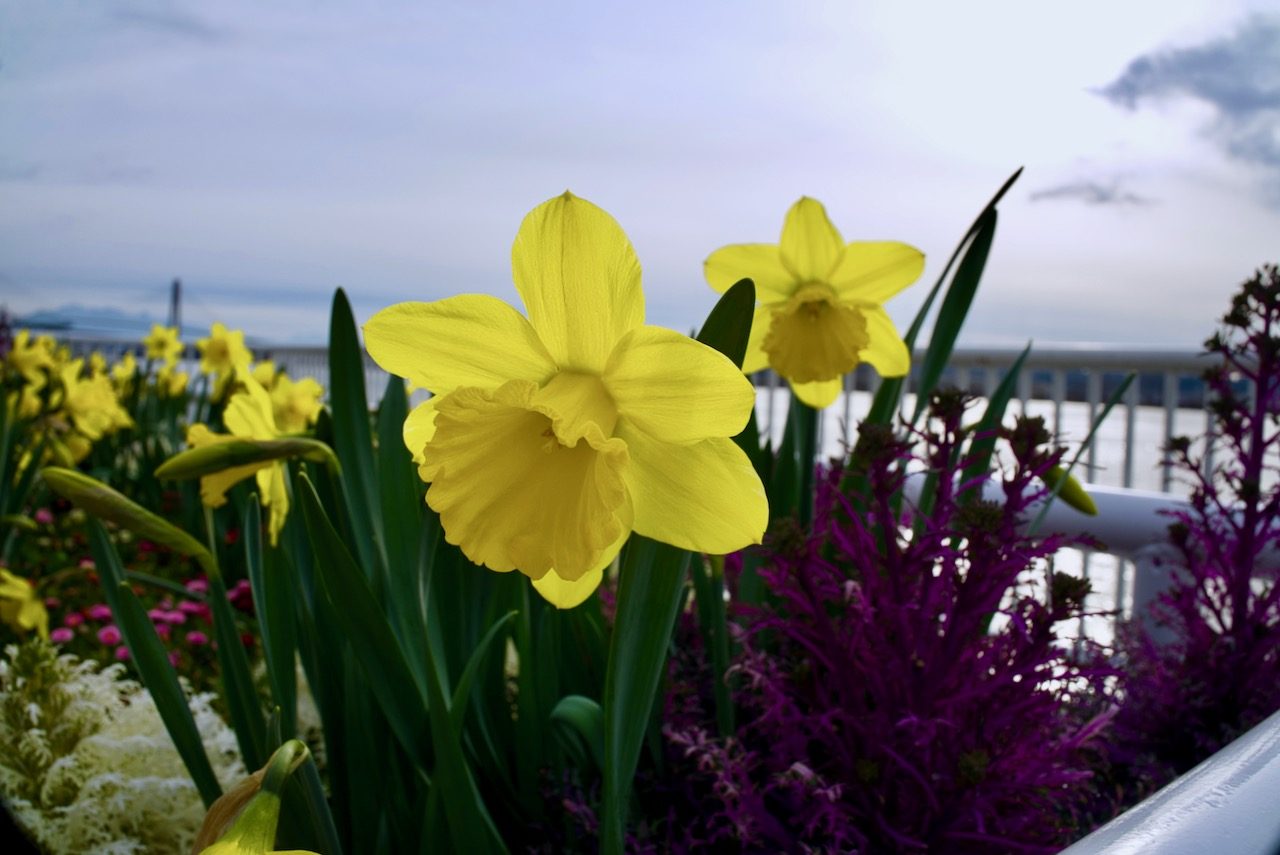 Daffodils., New Westminster Quay
