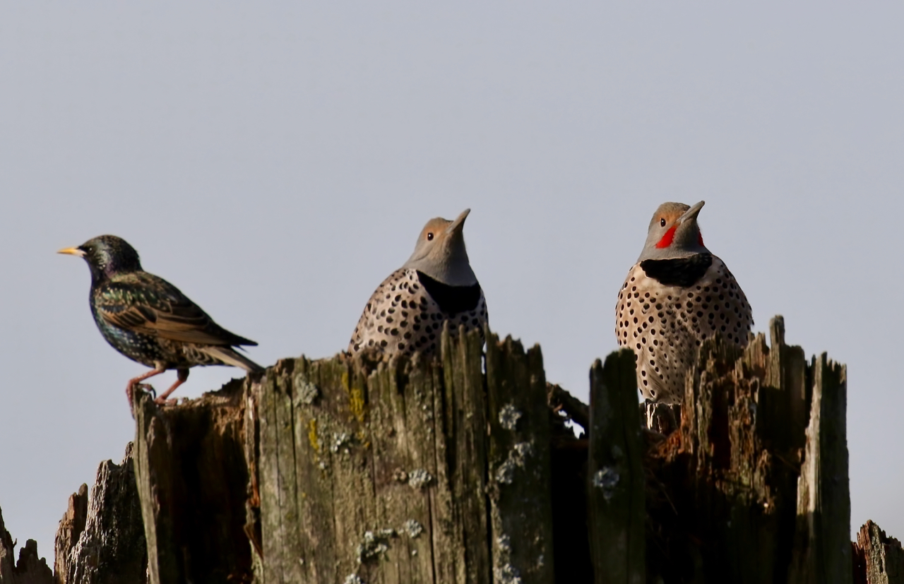 European Starling, Female and Male Northern Flickers, New Westminster B.C.