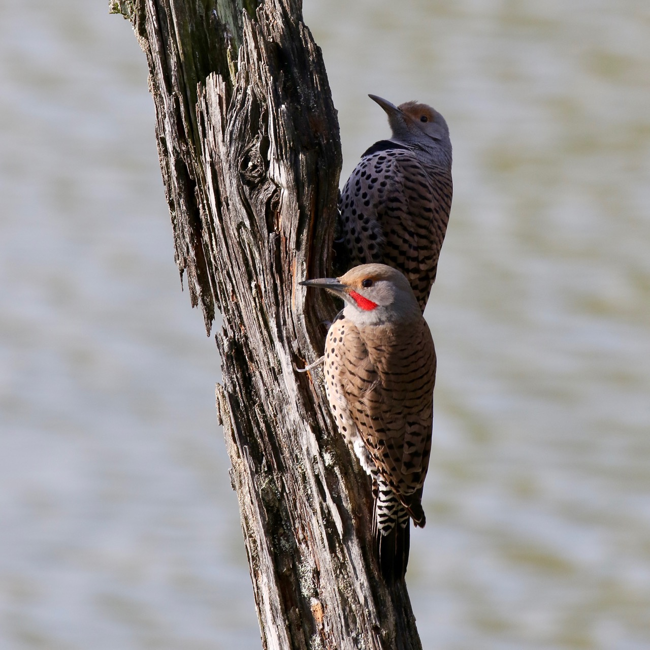 Male and Female Northern Flicker, Fraser River B.C.