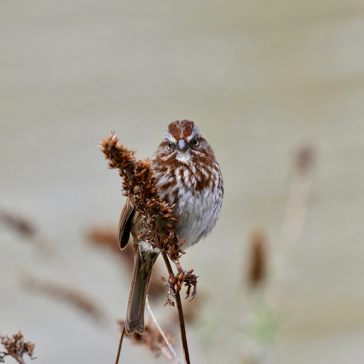 Song sparrow in Spring plumage, New Westminster B.C.