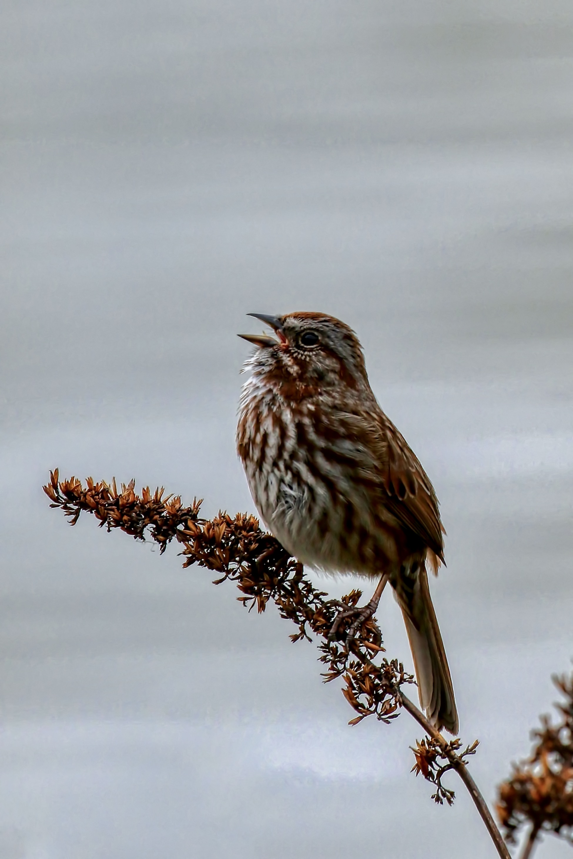 Song Sparrow sings a song, New Westminster B.C.