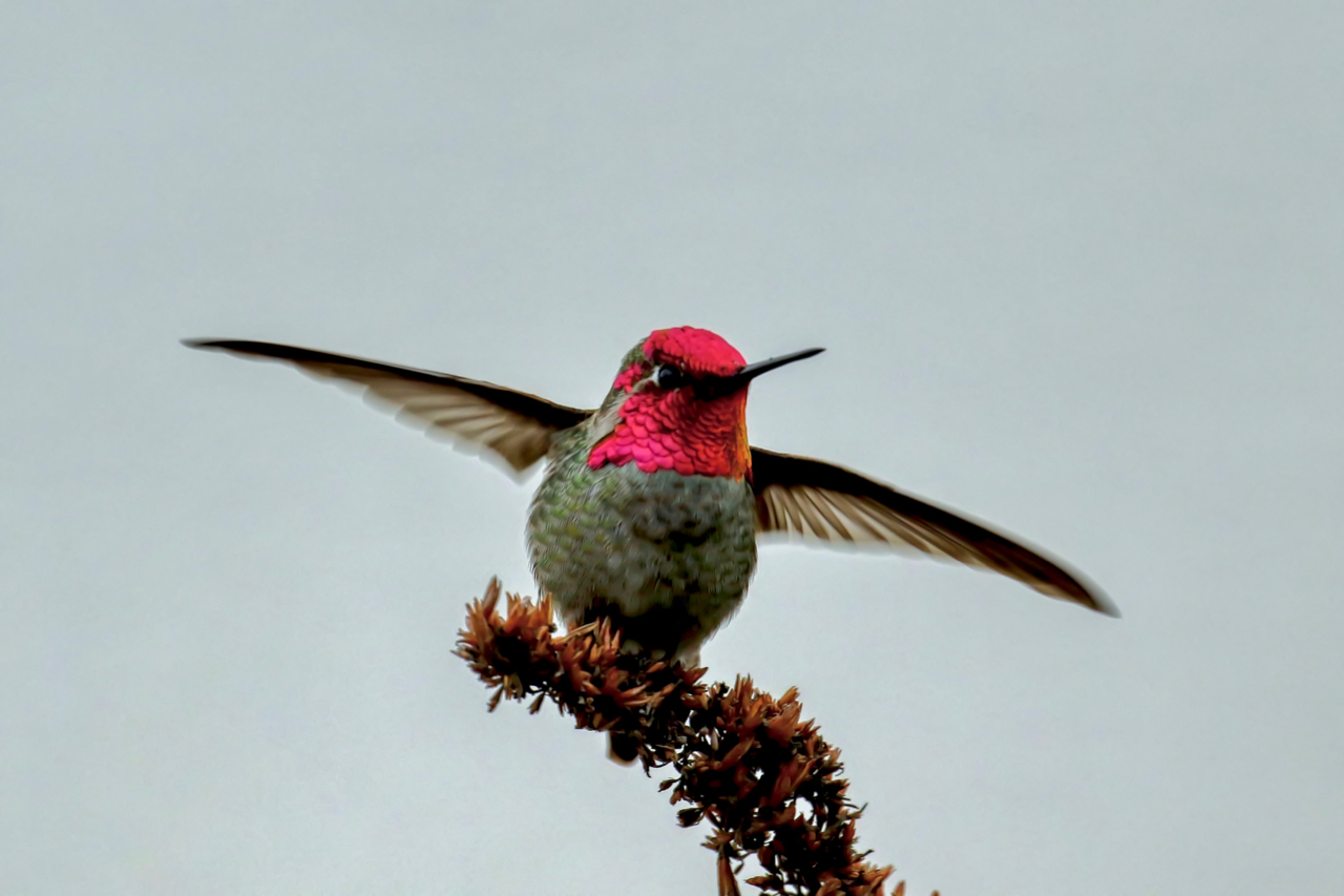 Anna's Hummingbird about to take flight, New Westminster B.C.