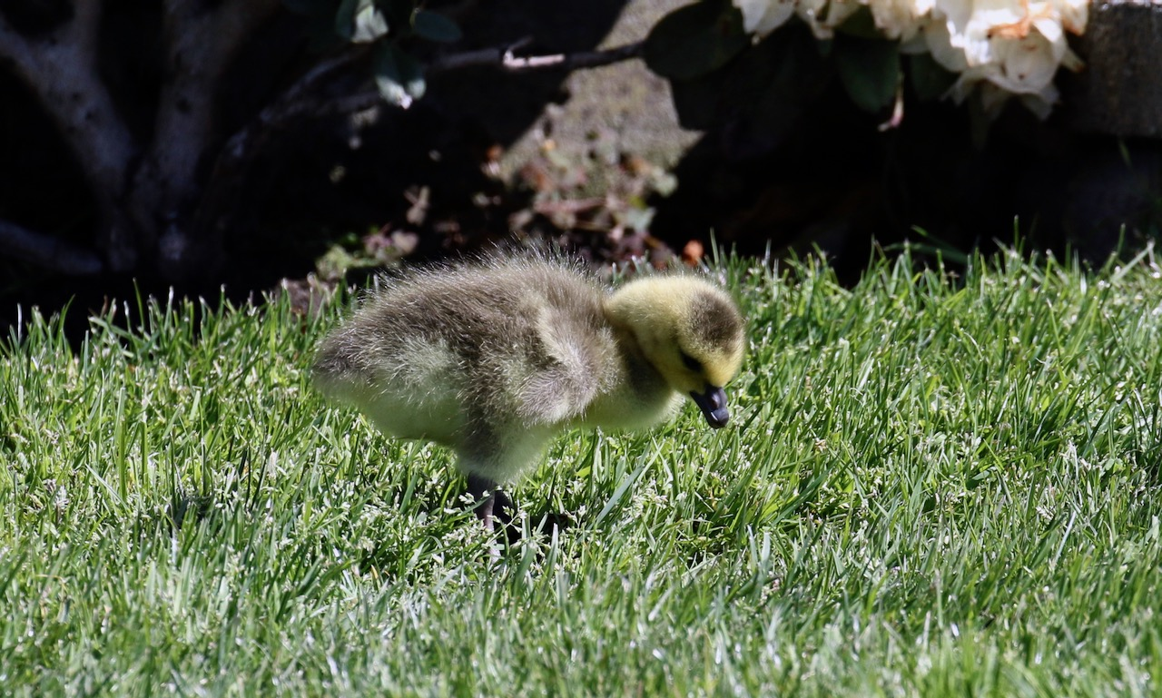 Days old gosling searches for food, New Westminster B.C.