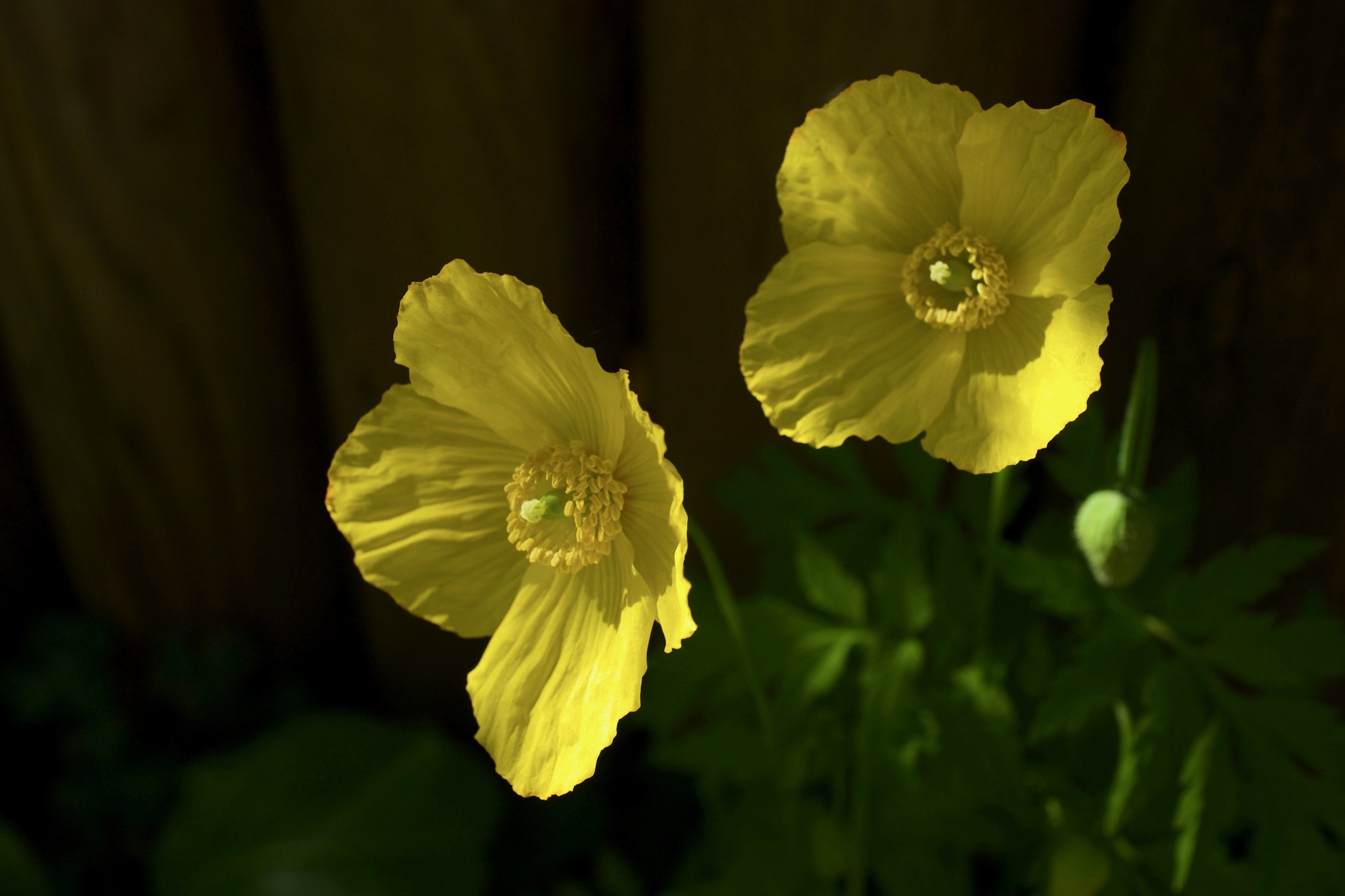 Wood Poppy, New Westminster B.C.