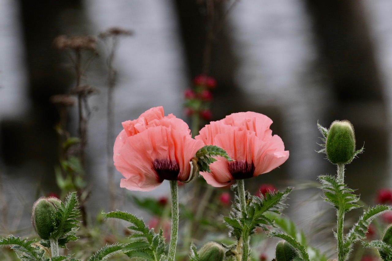 Poppies growing beside Fraser River B.C.