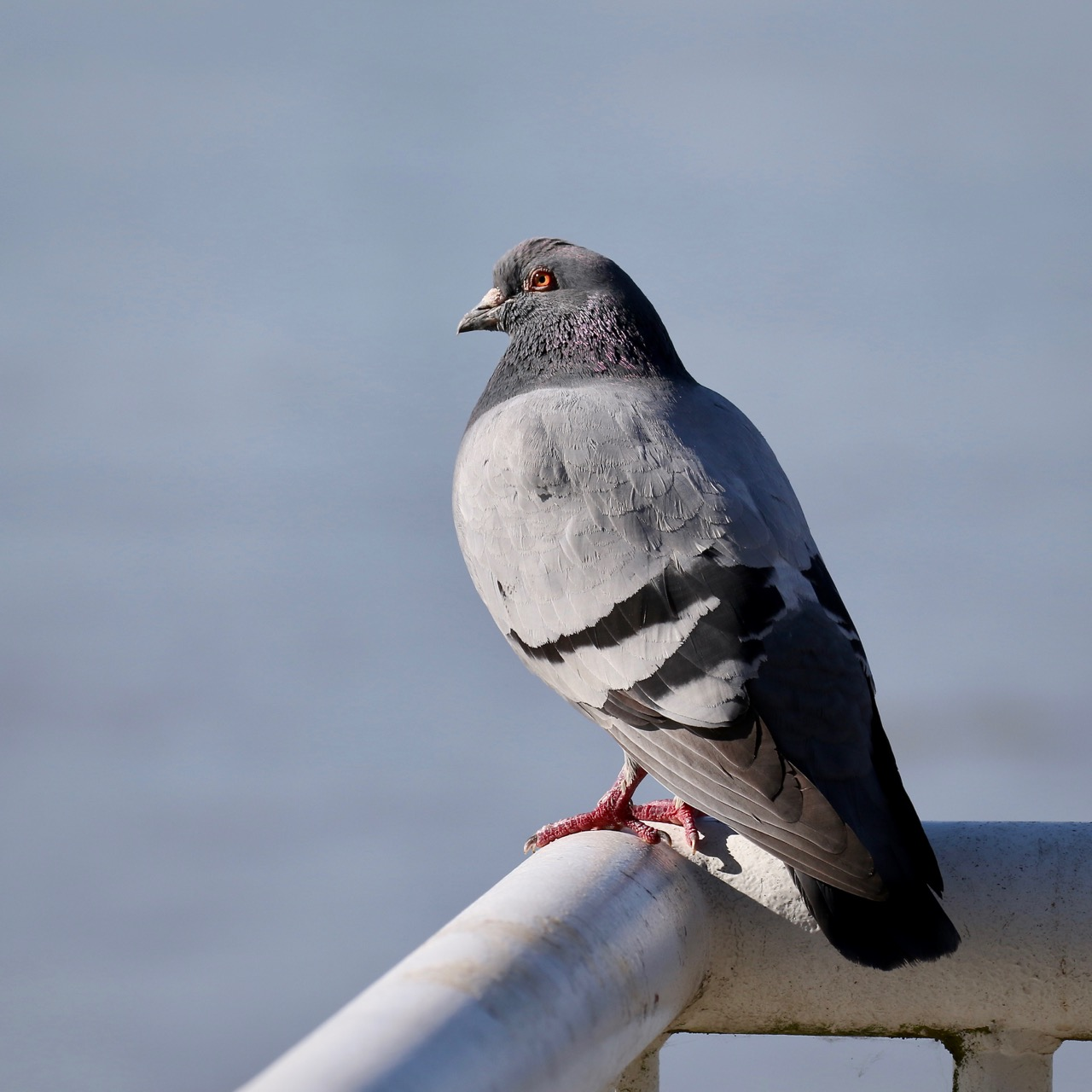 Rock Pigeon, New Westminster B.C.