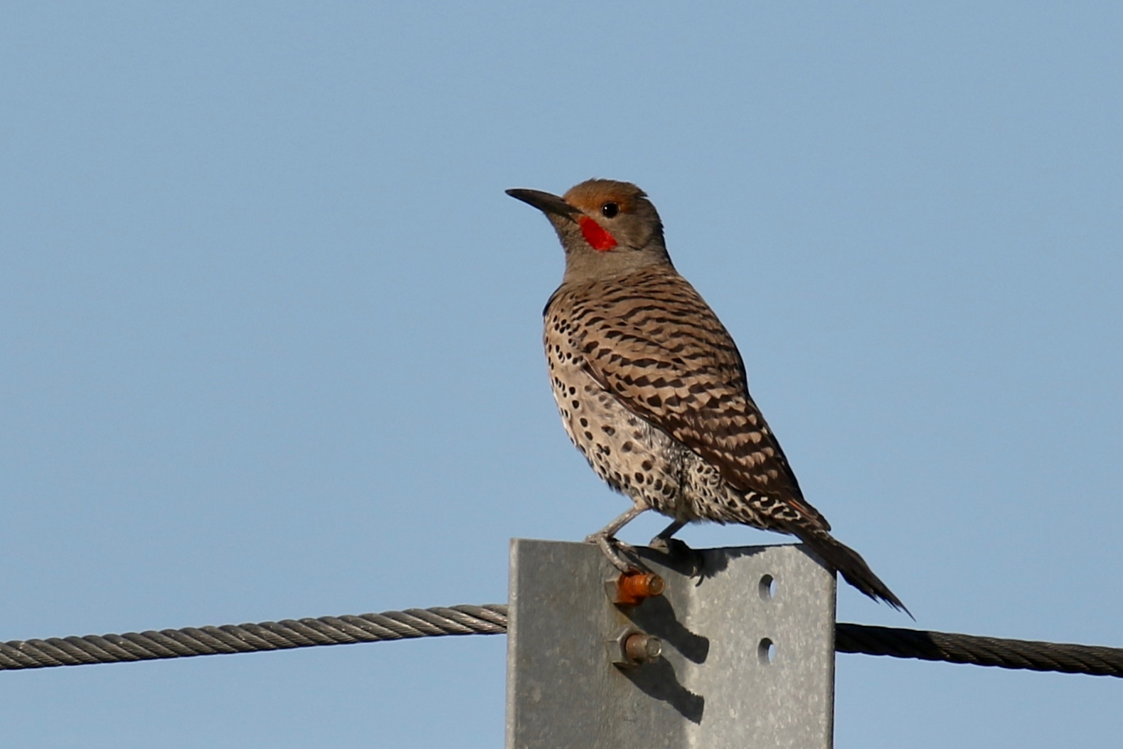 Male Northern Flicker, New Westminster B.C.