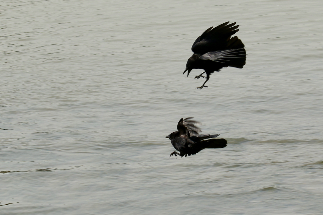 Northwestern crow pursues another, Fraser River B.C.