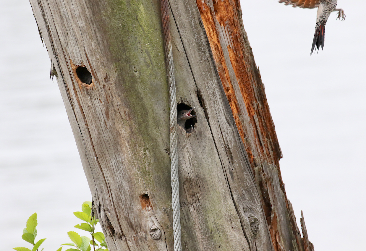 Northern Flicker nestlings watch parent fly away, Fraser River B.C.