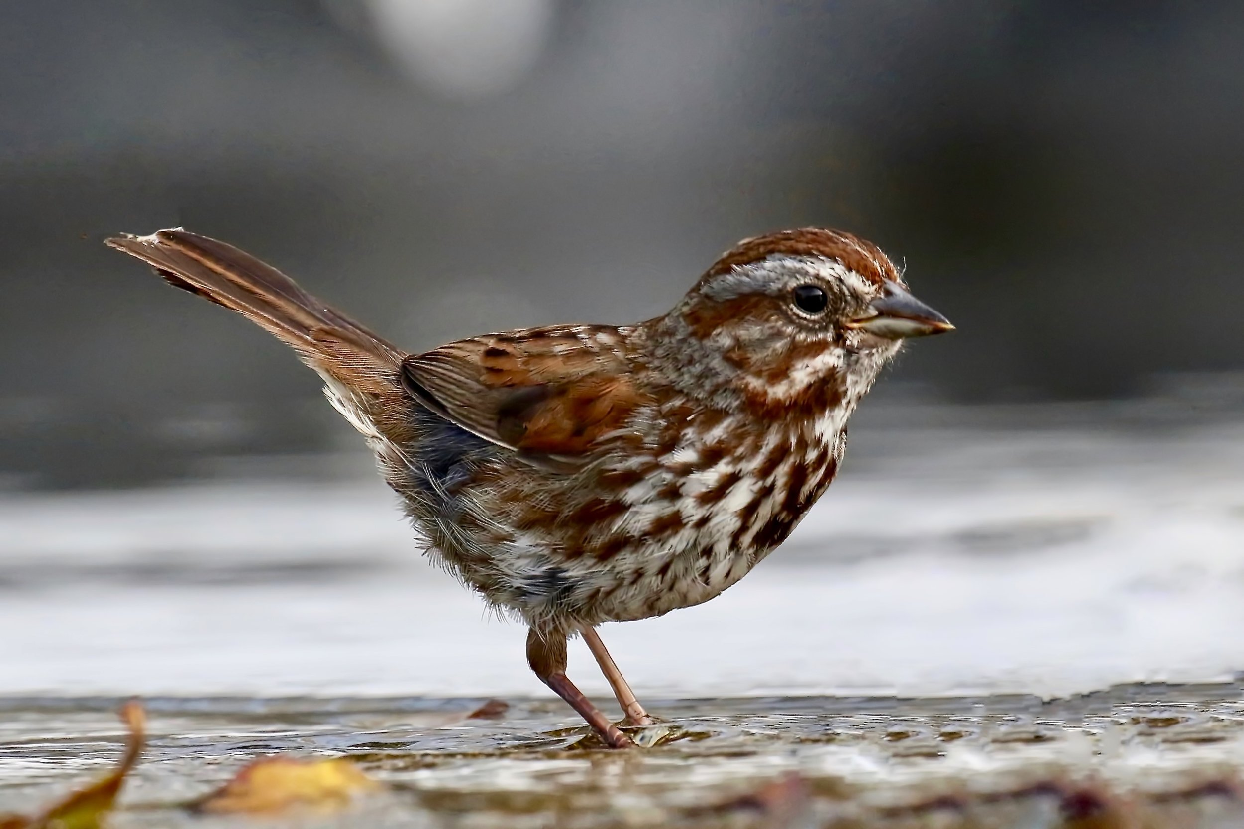 Song sparrow, New Westminster B.C.