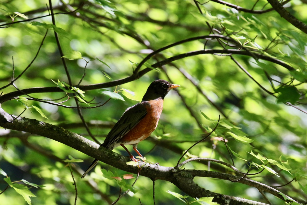 American Robin, New Westminster B.C.