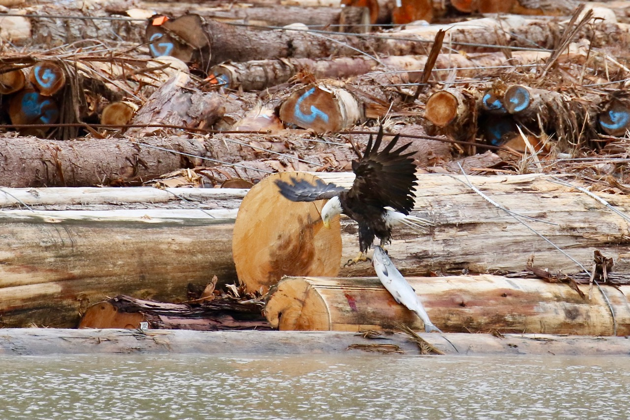 Bald Eagle catches salmon in Fraser River, B.C.