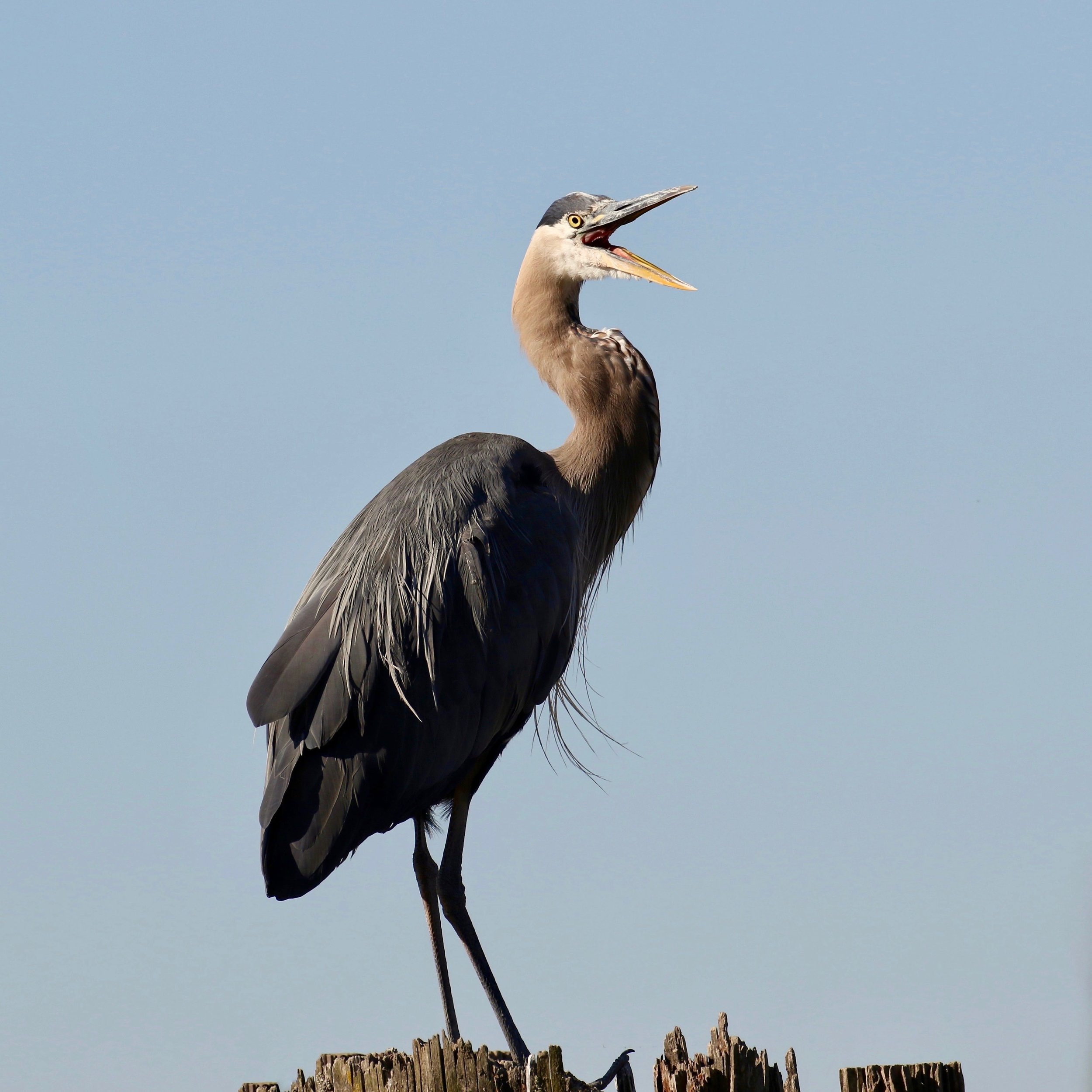 Great Blue Heron on piling in Fraser River, B.C.