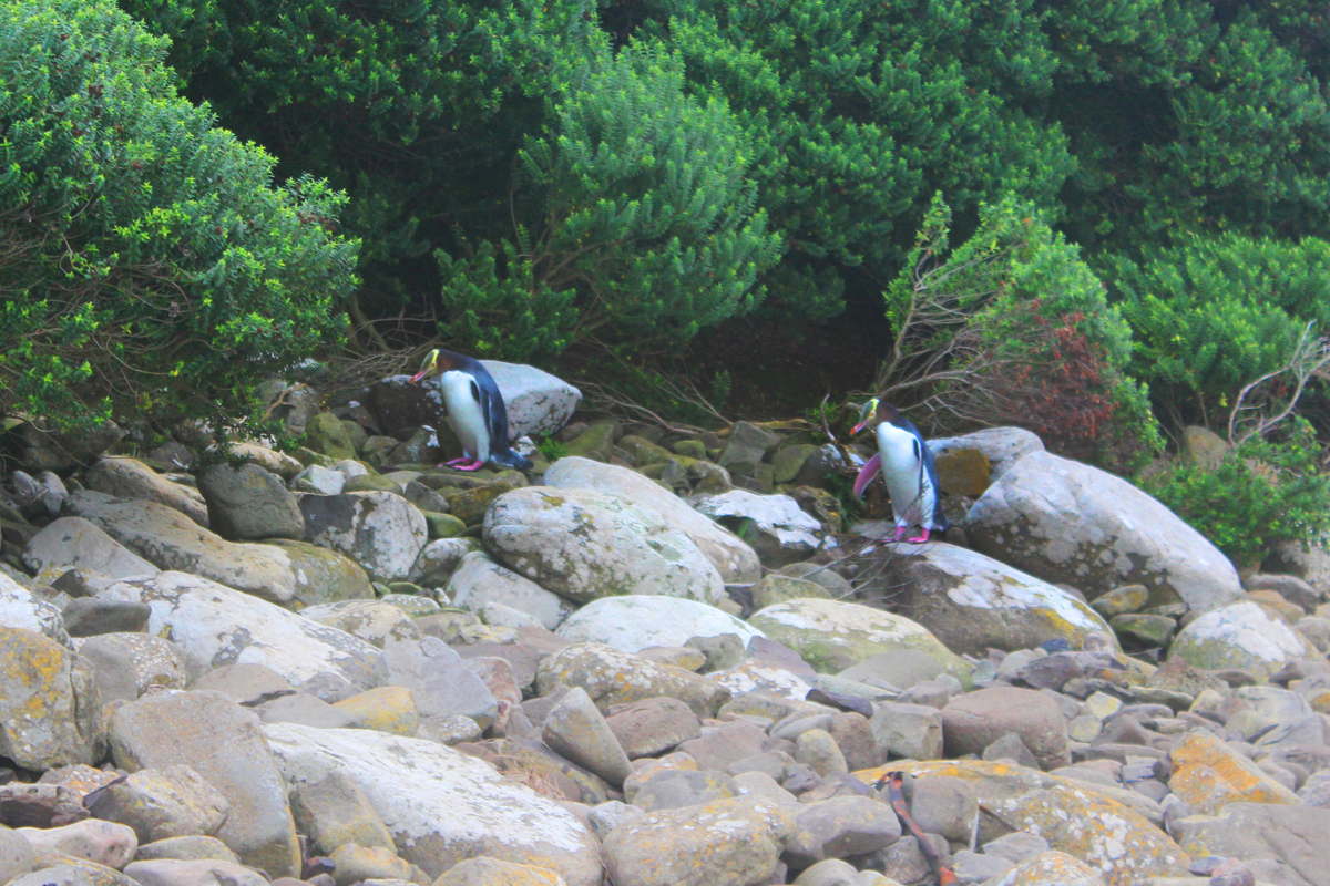 Rare yellow-eyed penguins in Curio Bay
