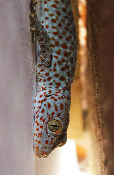 Very loud 7inch gecko