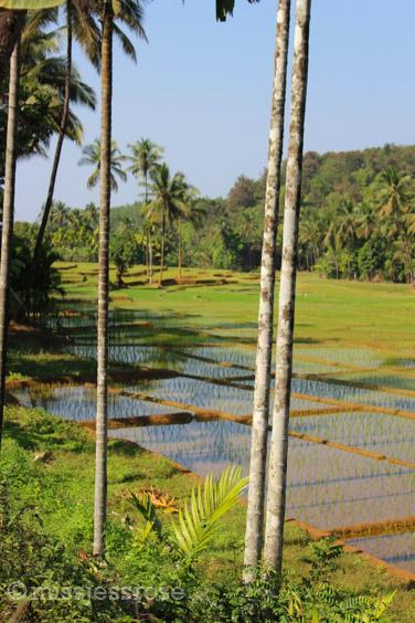 Rice paddies alongside the hiking trail