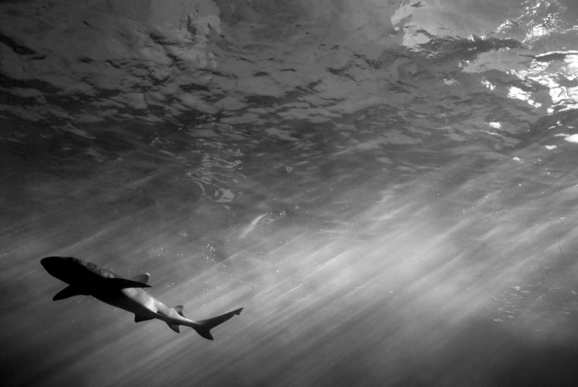 Shark, Sydney