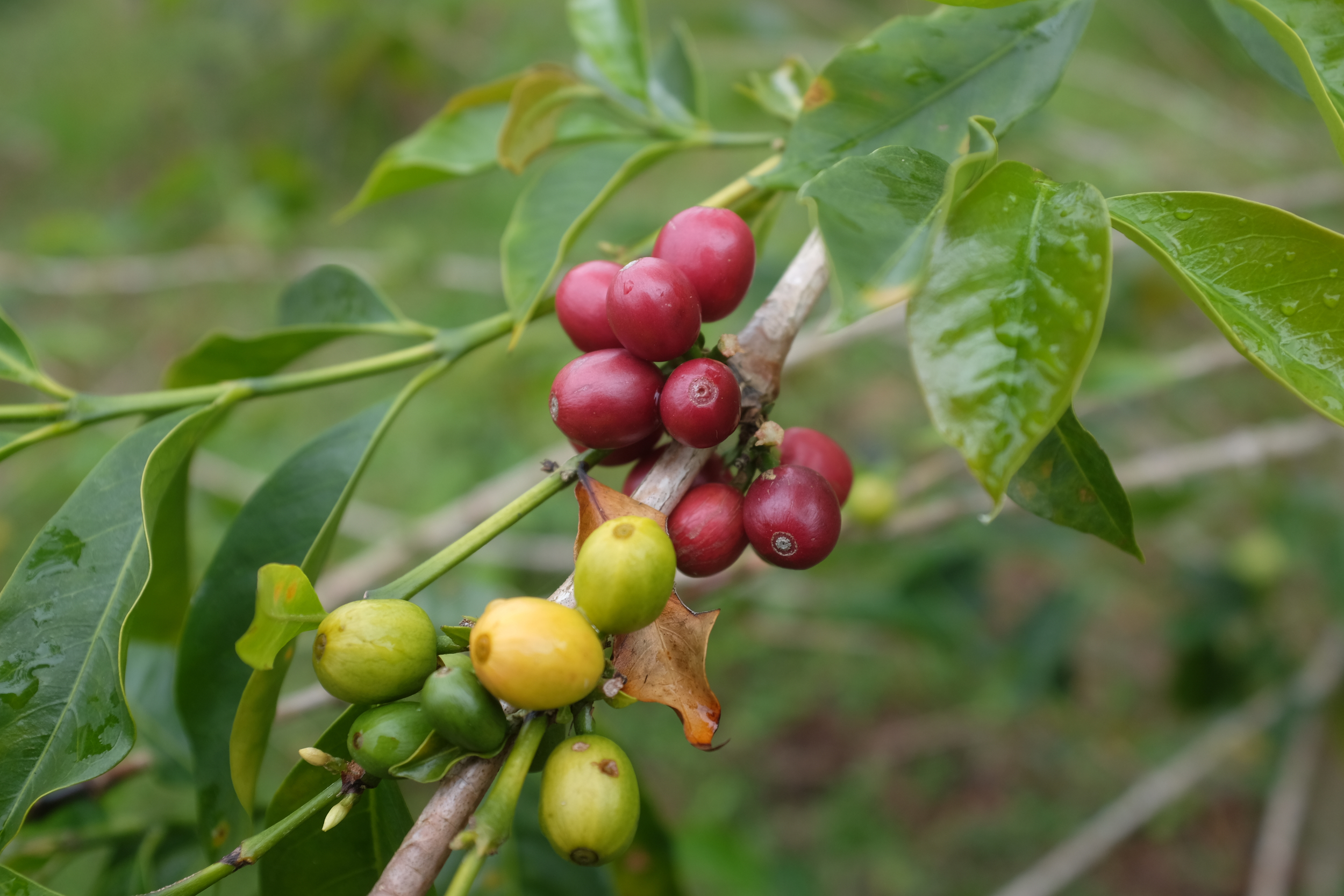 Coffee cherries at El Laurel, at varying degrees of ripeness.