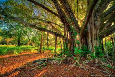 Many seedlings, one trunk.