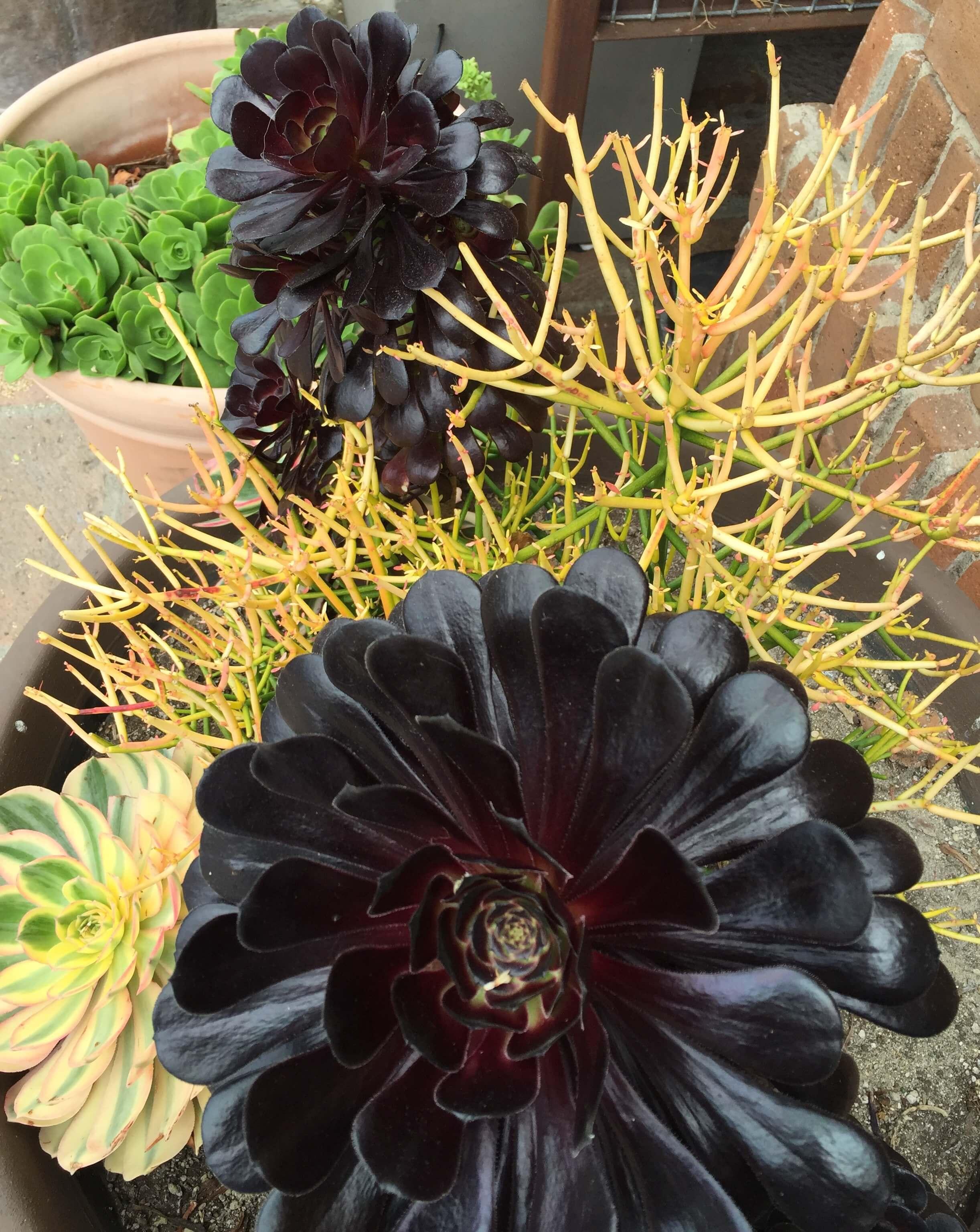 Succulents combo