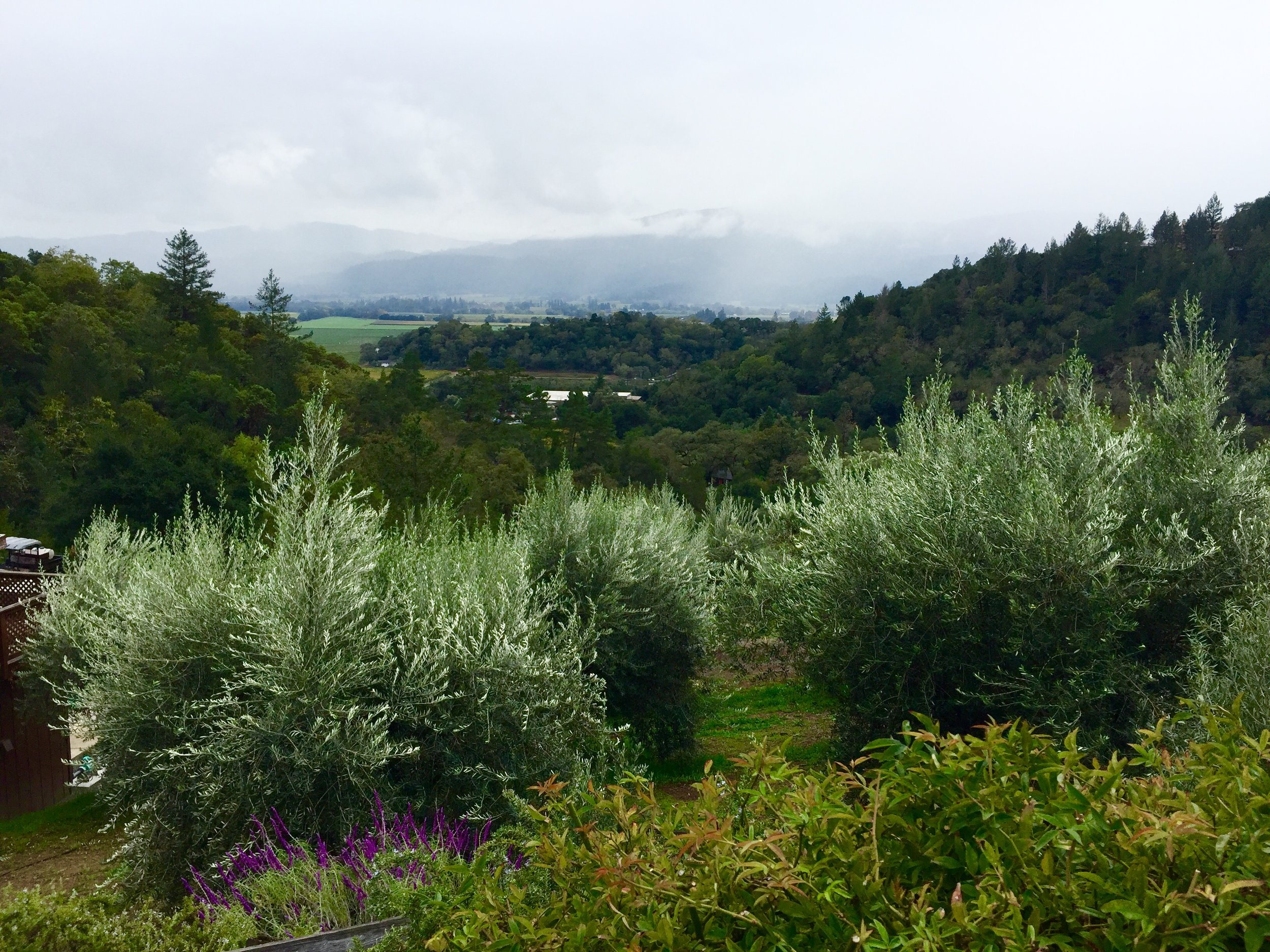 Olive trees and grapevines share the soil at many of the wineries, including Rutherford Hill.
