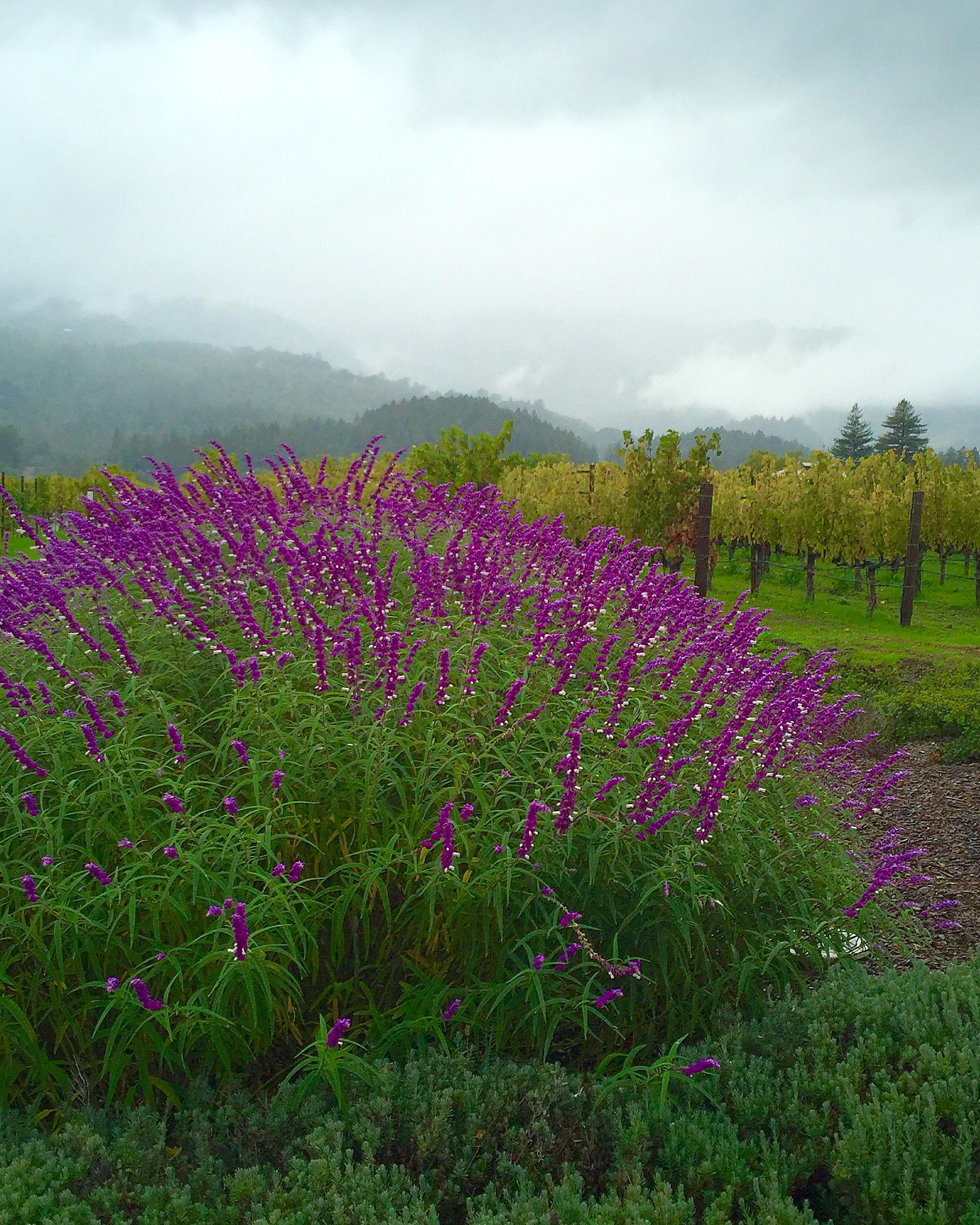 Beautiful views at Hall Wines, Napa Valley