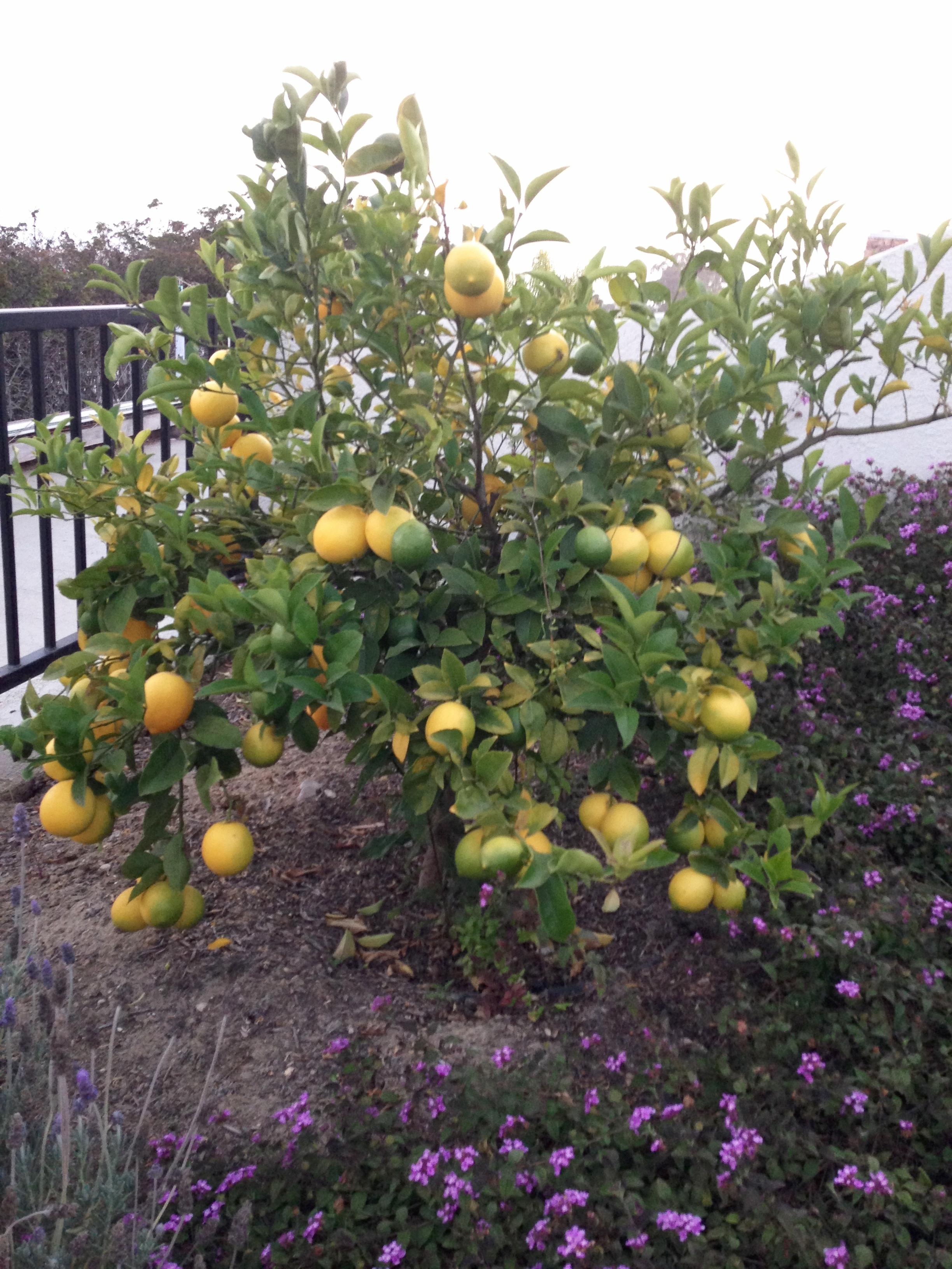 Image #12 - Ventura house - Lemon tree.JPG