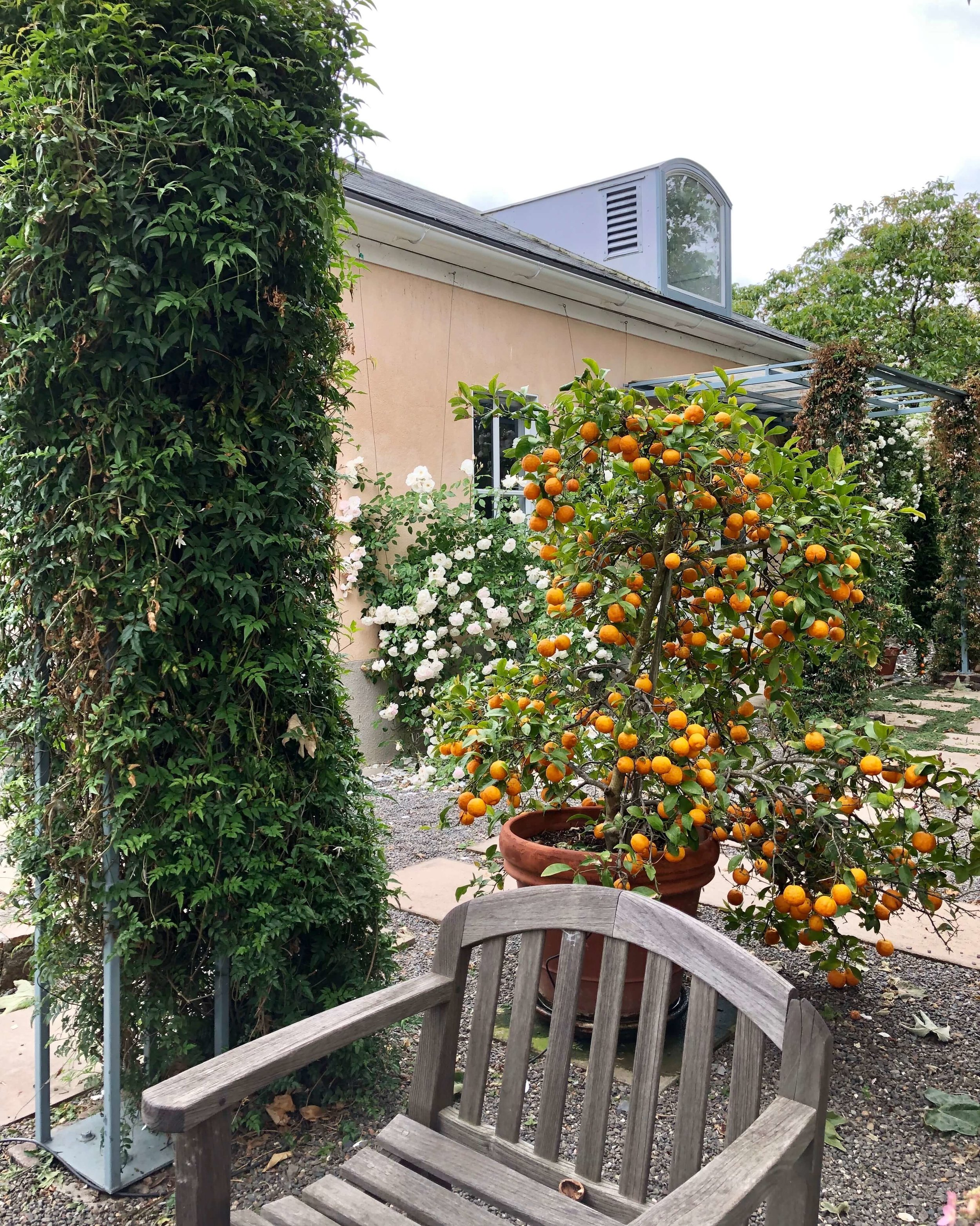 Trellised seating areas wrapped the sides of the main house of this Sonoma Airbnb. Orange trees and white rose bushes were loaded with fruit and flowers. #airbnb #winecountry