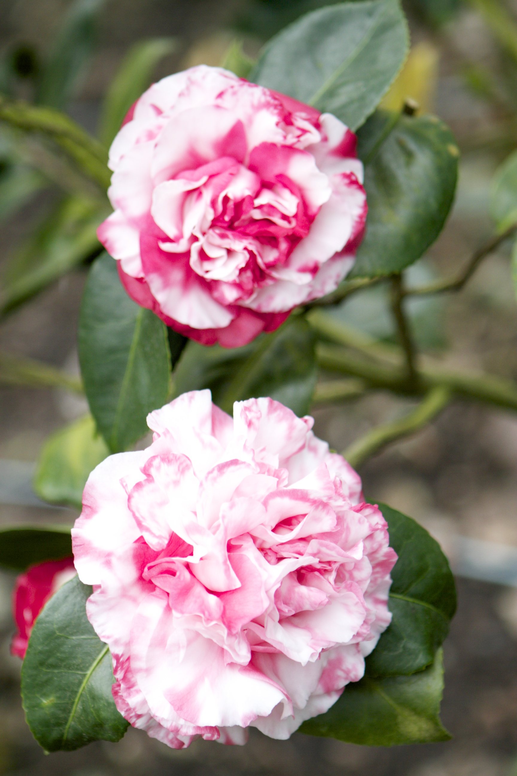just a few of the THOUSANDS of camellias that i was able to walk amongst during a photo shoot this week. a friend from Bible study and her husband have 700 camellia bushes in their yard and a few greenhouses. lovely...