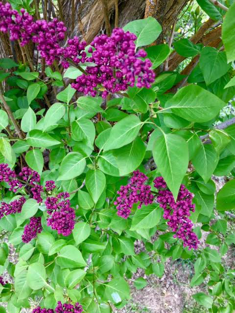 email 4.30.17 lilac.jpg