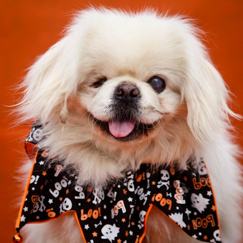 Meet Chance a blind Pekingese looking for his forever home!