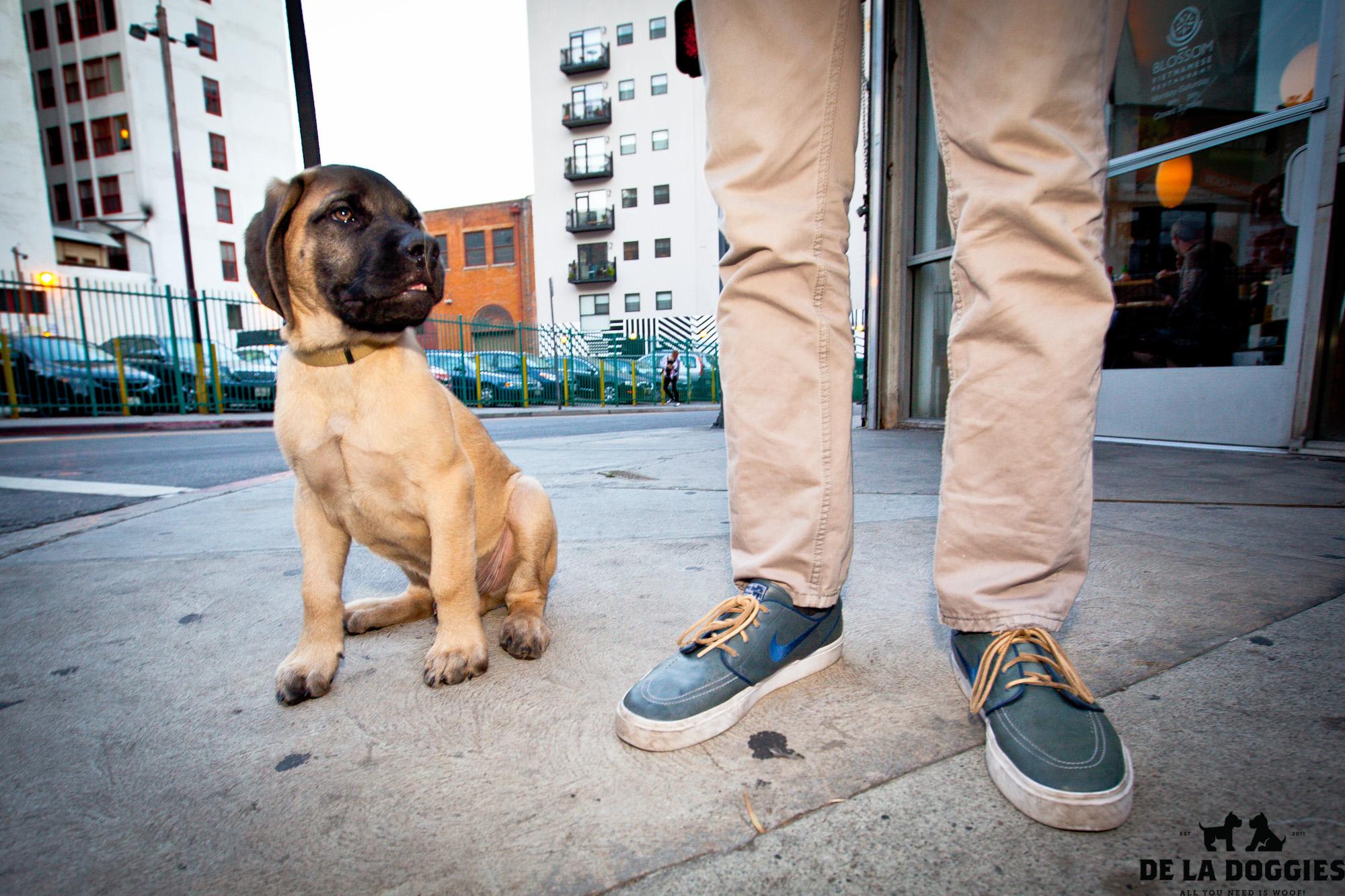 mastiff-1.jpg