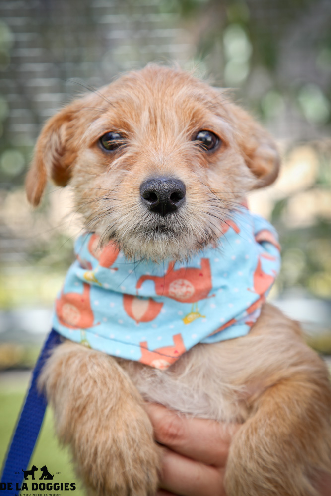 Hi my name is Riley. A1418088 / kennel no:SPM169  I am a 2 month, 6lb, unaltered male, tan Toy Fox Terrier. I am very scared and just want to be loved & to cuddle! Please come meet me!  I was brought in as a stray & have been at the shelter s  ince Aug 20, 2013 South LA animal shelter 1850 West 60th street Los Angeles, CA 90047 L.A. 90018 (213) 485-0214 (213) 485-0227 (213) 485-0303
