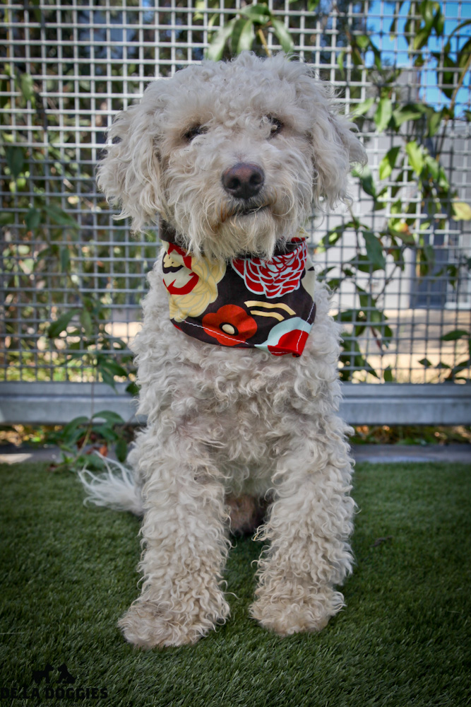 Hi my name is Tommy. A1417912 / Kennel No:SPM153  I am a 1.5 year old, unaltered male, white Poodle - Miniature mix. I am soooo gentle & calm. Just a very sweet boy . I was caught as a stray & have been at the shelter since Aug 19, 2013.  South LA animal shelter 1850 West 60th street  Los Angeles, CA 90047 L.A. 90018 (213) 485-0214 (213) 485-0227 (213) 485-0303