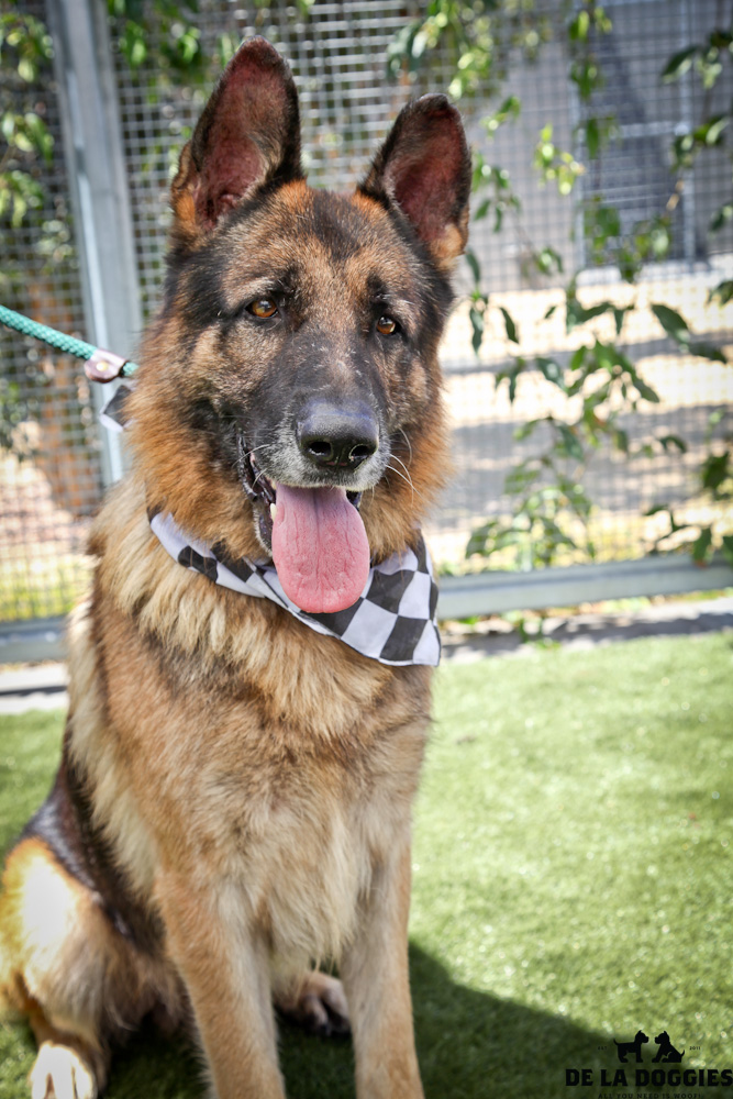 Hi my name is Duke. A1414209 / Kennel no:SDF91  I am an already neutered 7 year old, male, tan and black German Shepherd. I am quite anxious, but VERY friendly. I would love to just be with you and follow you all day long! I would be a great companion. I was brought to the shelter as a stray and have been at the shelter since Aug 06, 2013.  South LA animal shelter 1850 West 60th street  Los Angeles, CA 90047 L.A. 90018 (213) 485-0214 (213) 485-0227 (213) 485-0303