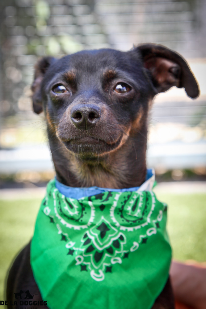 Hi my name is Chiquillo. A1411517 / kennel no: SPM212  I am a 1 year old, unaltered male, black and brown smooth coated Chihuahua mix. I am a very nervous little boy. I try to be brave, but the shelter can be a very scary place. I get along well with my kennel mates and will warm up quickly with some treats when i meet you in person     I am an owner surrender & have been at the shelter since Jul  26, 2013. South LA animal shelter 1850 West 60th street Los Angeles, CA 90047 L.A. 90018 (213) 485-0214 (213) 485-0227 (213) 485-0303