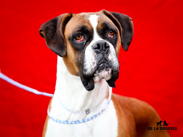 A4630850 Harmony is a glorious eight year old brown and white altered female Boxer who was dumped at the Downey Shelter on September 10th. Weighing fifty-nine pounds, this gorgeous dog walks beautifully on leash and we believe she is housebroken. She is socially adept, gets along great with other dogs and we think she will make a remarkable pet for children. She has beautiful sparkly teeth, is well groomed and is a pleasure to be around. Harmony is aptly named and will make a perfect indoor pet for an individual or family living in a private home.   To watch a video of Harmony please click here: www.youtube.com/  watch?v=BNJrG7B3rOs